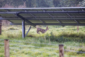 A Roe deer walking the Chelworth solar array of the Wiltshire Wildlife Community Energy.